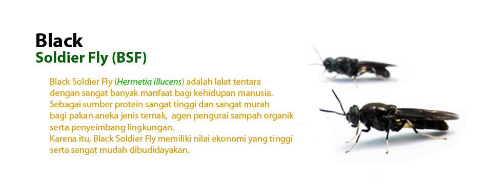 Black Soldier Fly BW.jpg